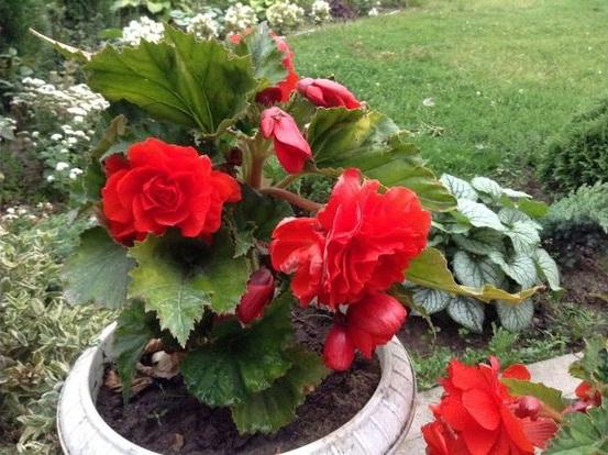 Вечноцветущая бегония для дома и сада